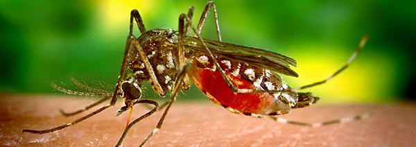 moustique-aedes-aegypti.jpg